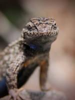 Bluebelly Lizard by KMourzenko