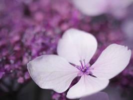 Hydrangea Flower by KMourzenko