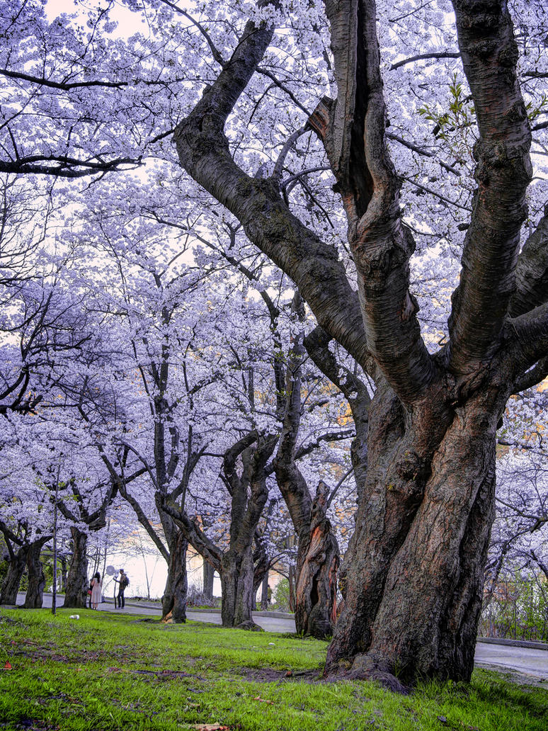 Sakura Blooming by KMourzenko
