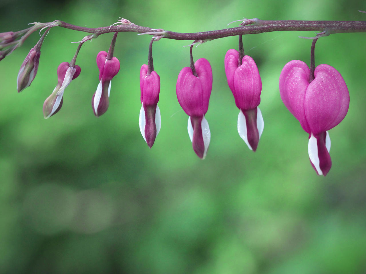 Hearts Hung on a String by KMourzenko