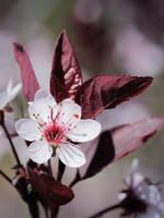 Purple Leaf Sand Cherry Bloom by KMourzenko