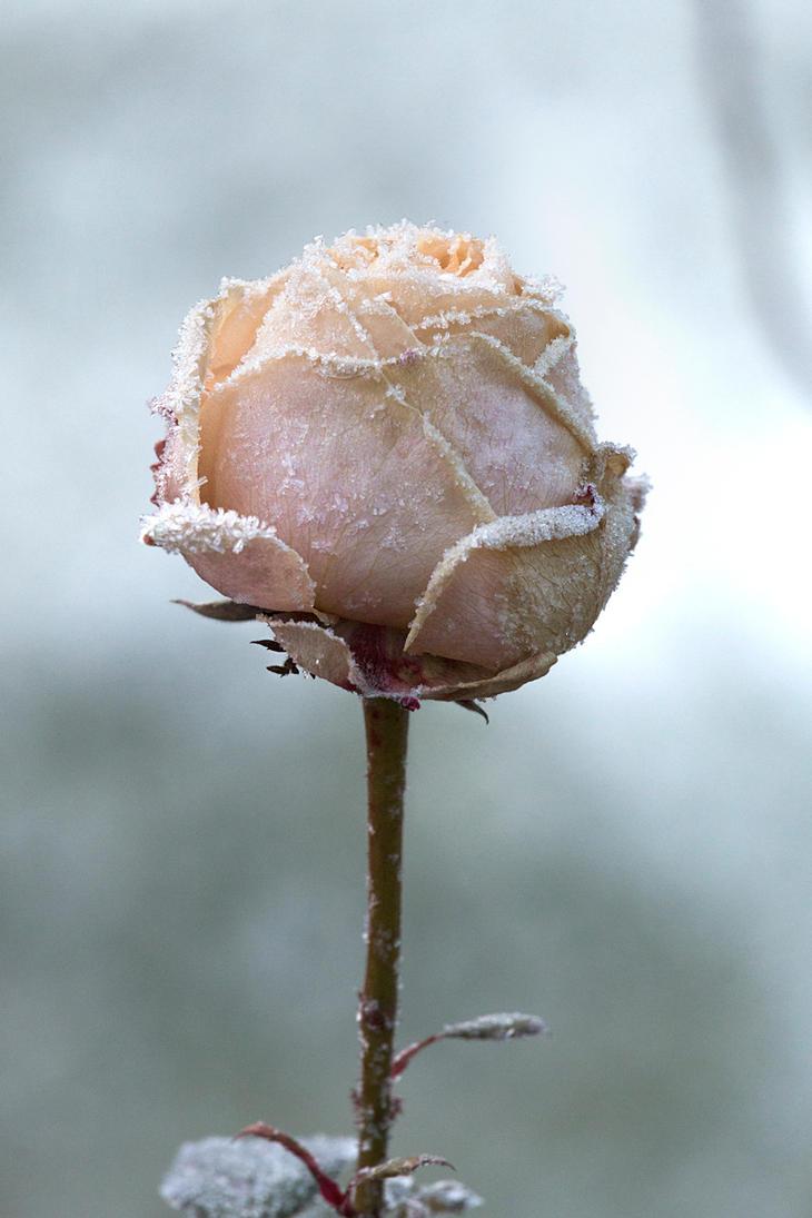 Frosty Rose by siniart