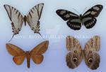 Exotic Butterflies Stock Package