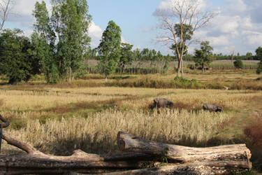 Rice Paddy Buffalo