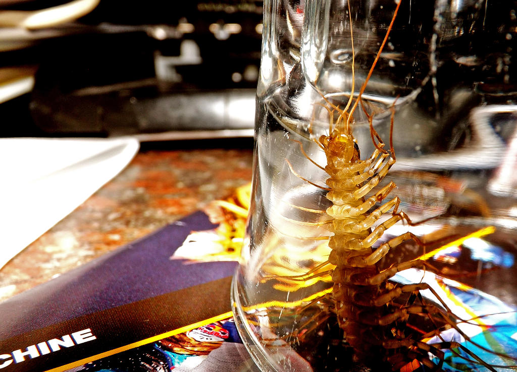 Giant Common House Centipede by CalmGhosts