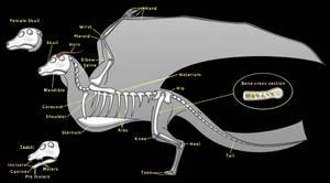 Little Dragon - Skeleton by horse14t
