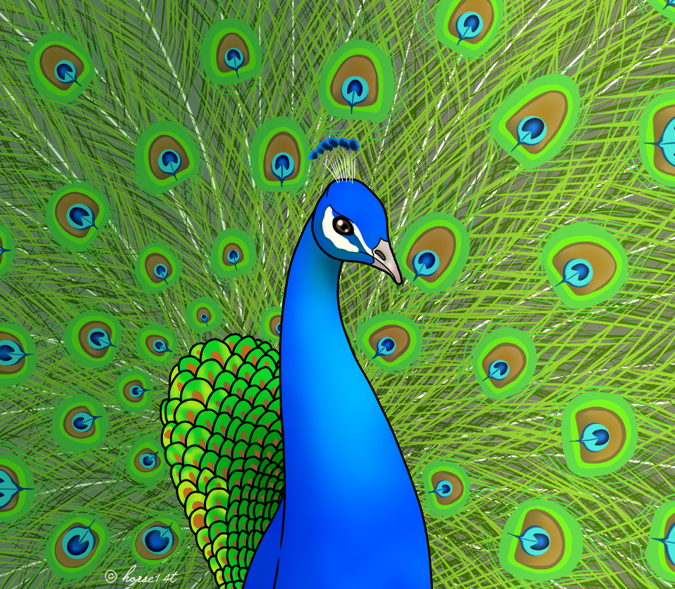 How to draw a peacock 34