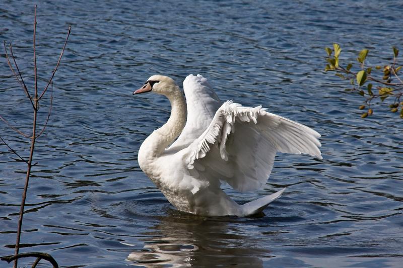 Swan04