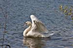 Swan06