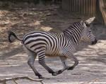 Zebra04