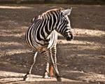 Zebra06