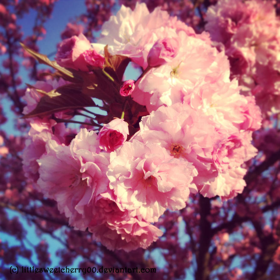 pink cherry tree by littlesweetcherry00 on deviantart