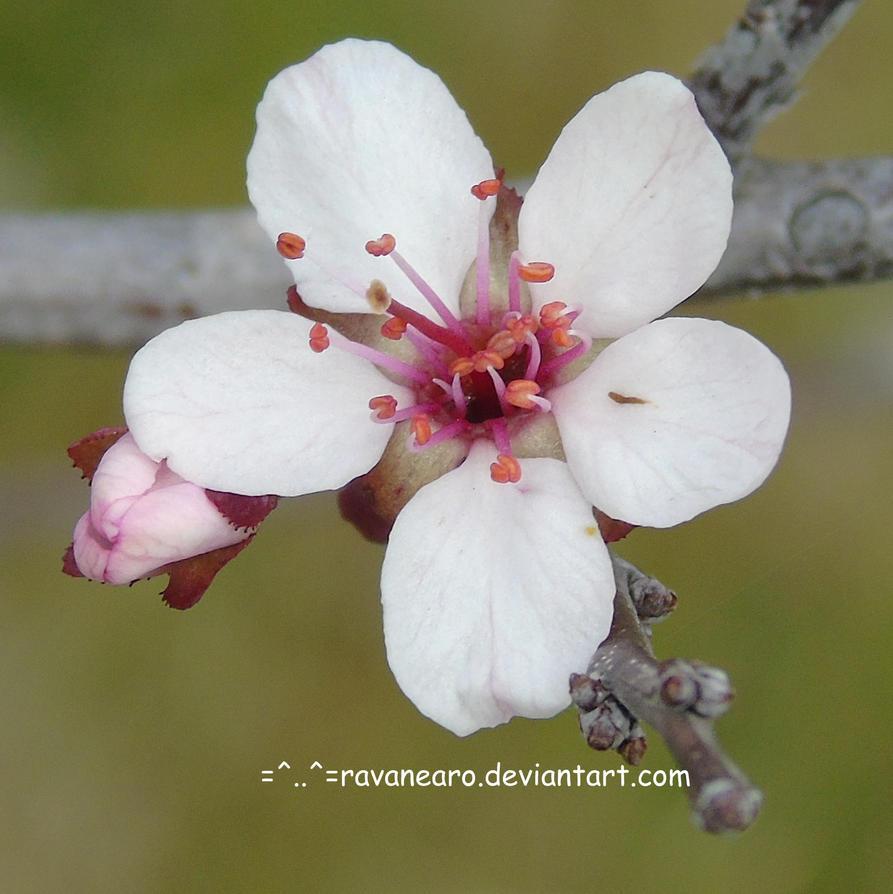 Sand Cherry Flower by RavaNearo