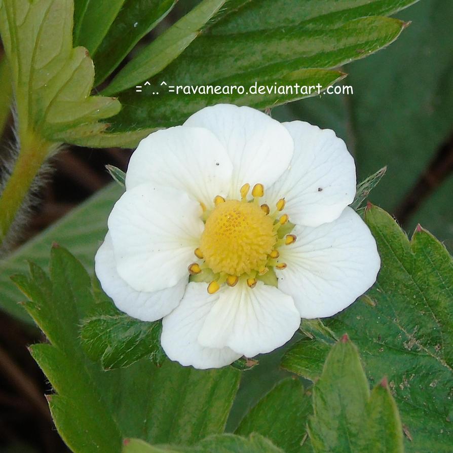 Straberry Flower by RavaNearo