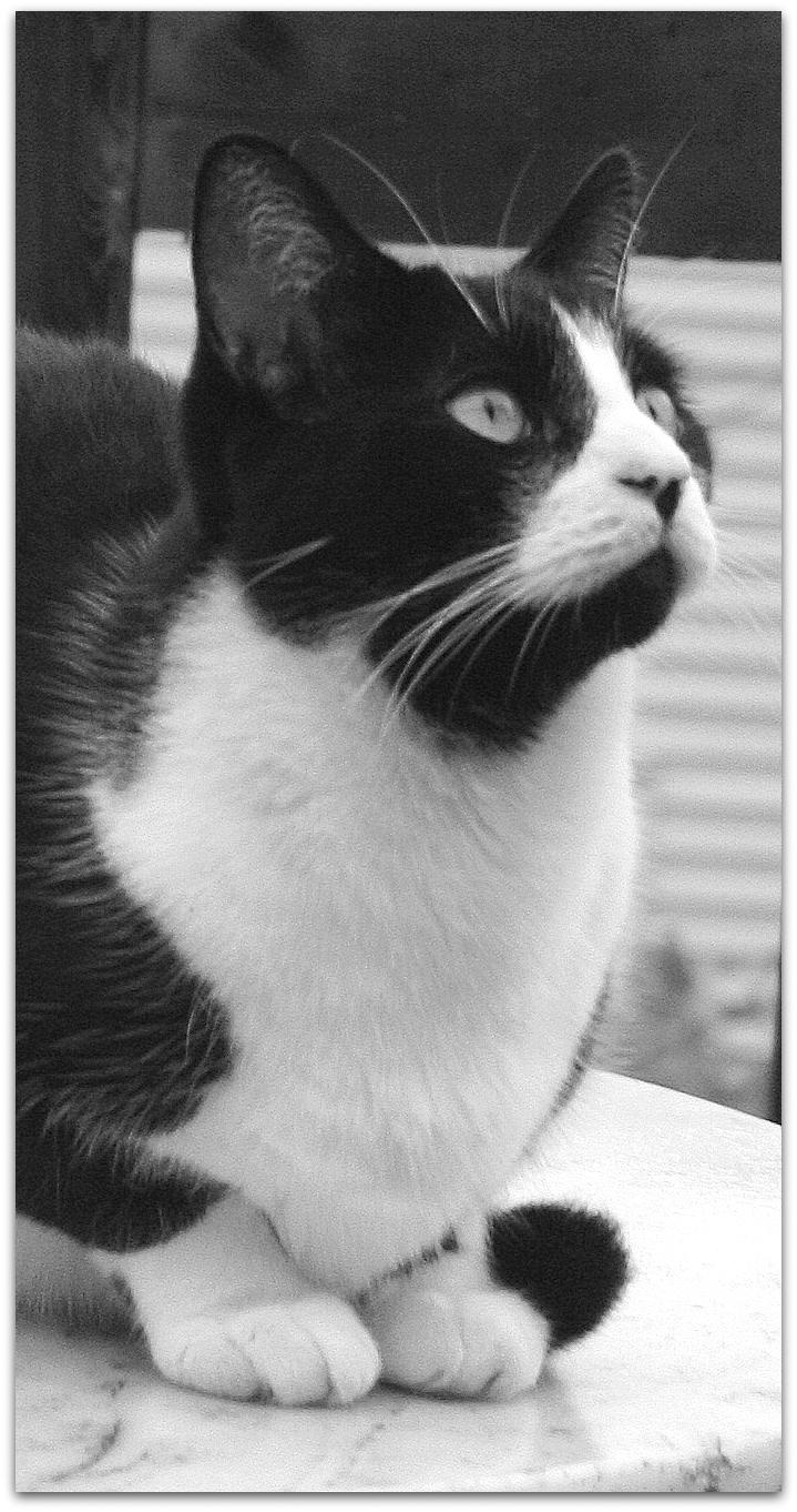Tuxedo Cat by Of-Heliotropes