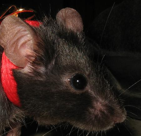 Mis ratones Arya_with_harness_by_Kelvariel_Mice