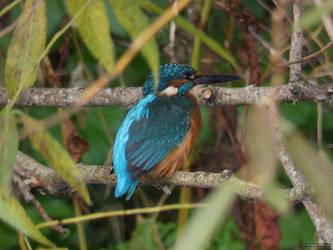 Kingfisher #1