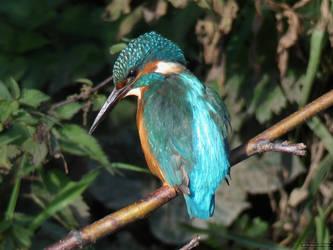 Kingfisher #4