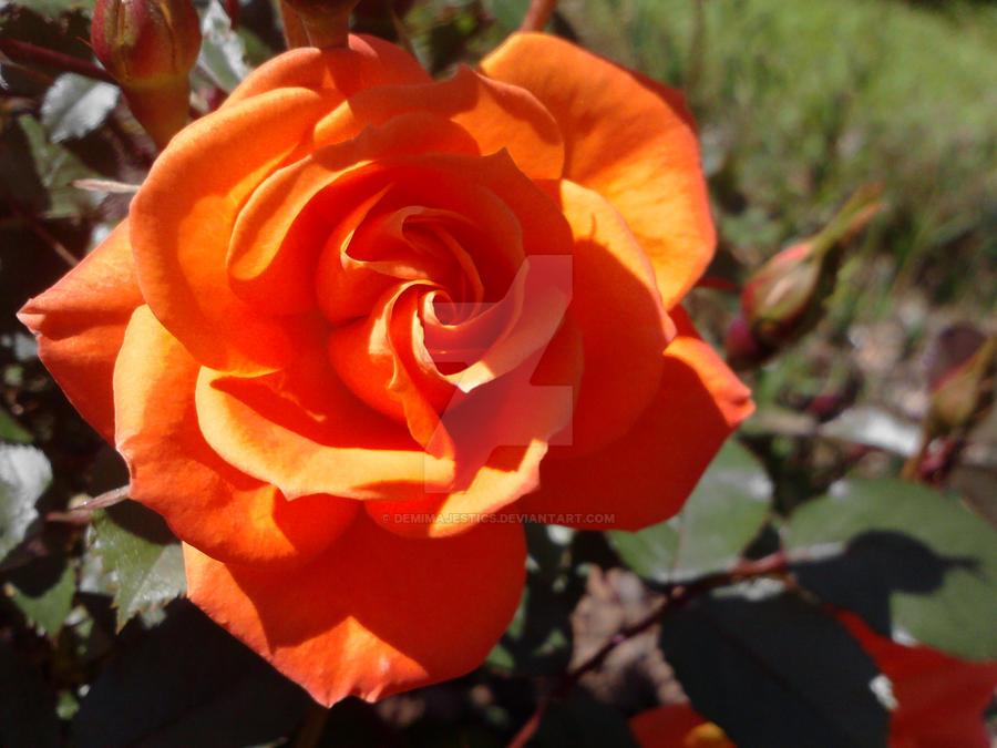 Sunset Rose by DemiMajestics