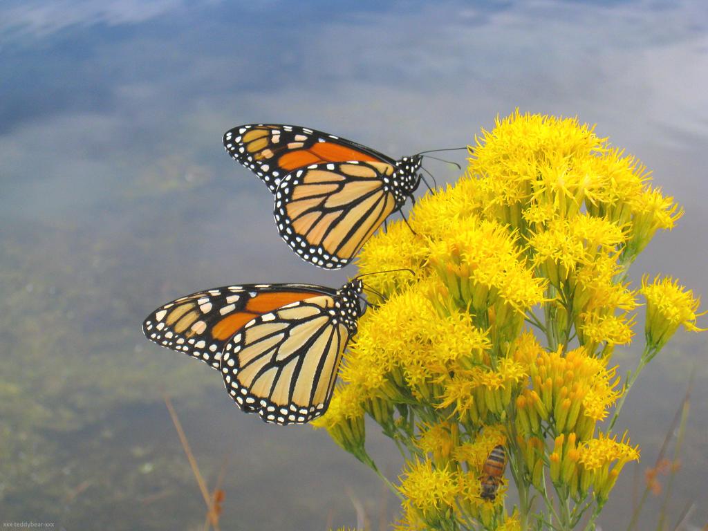 Monarch Butterflies 1 by xxx-TeddyBear-xxx