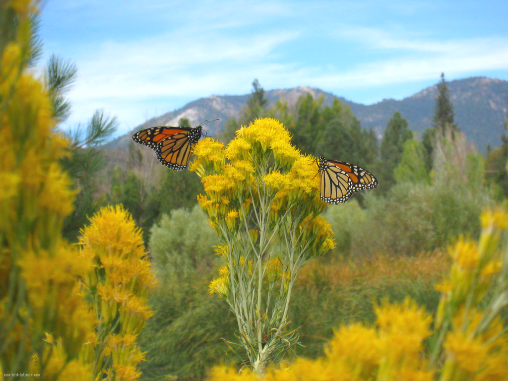 Monarch Butterflies 3 by xxx-TeddyBear-xxx