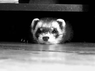 ferret by SuperNupsy