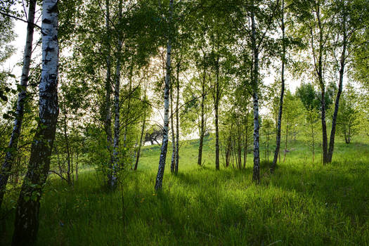 birch grove by MrFotkerman
