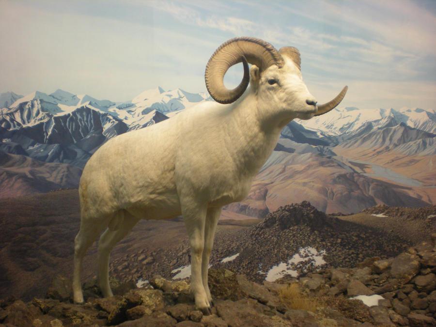Dall Sheep Ram by DrachenVarg-stock