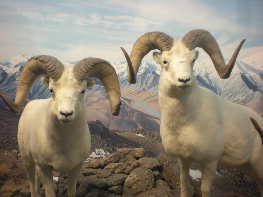 dall sheep ram iii by