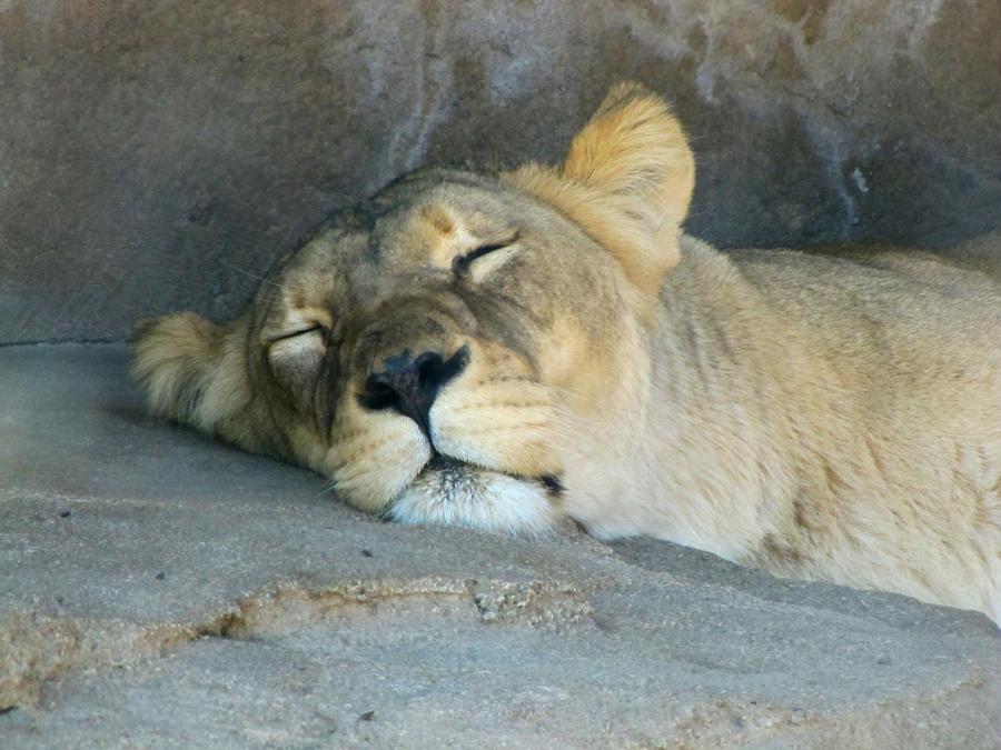 Sleeping Lion V by DrachenVarg-stock