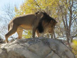 African Lion XXXX by DrachenVarg-stock