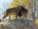 African Lion XXXX