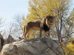 African Lion XXXXI
