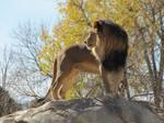 African Lion XXXXII