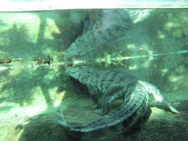 Underwater Crocodile IV by DrachenVarg-stock