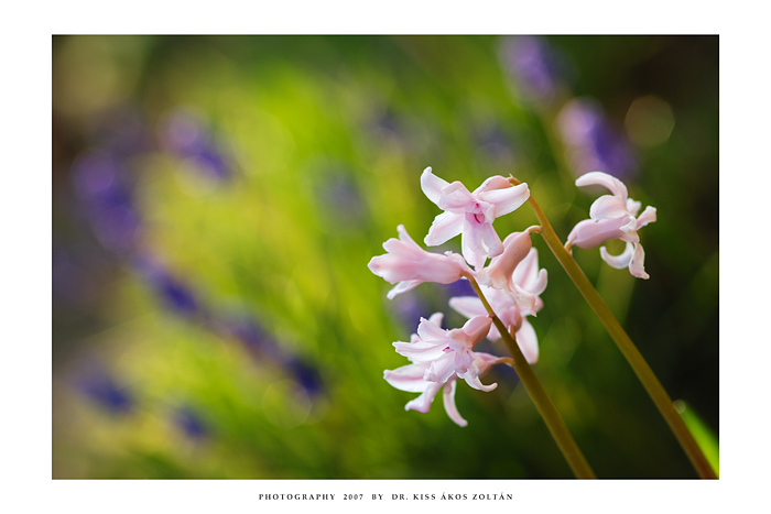 Hyacinth by DimensionSeven