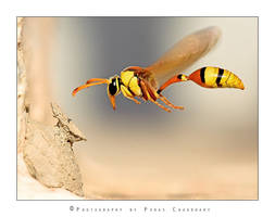 Yellow Potter Wasp