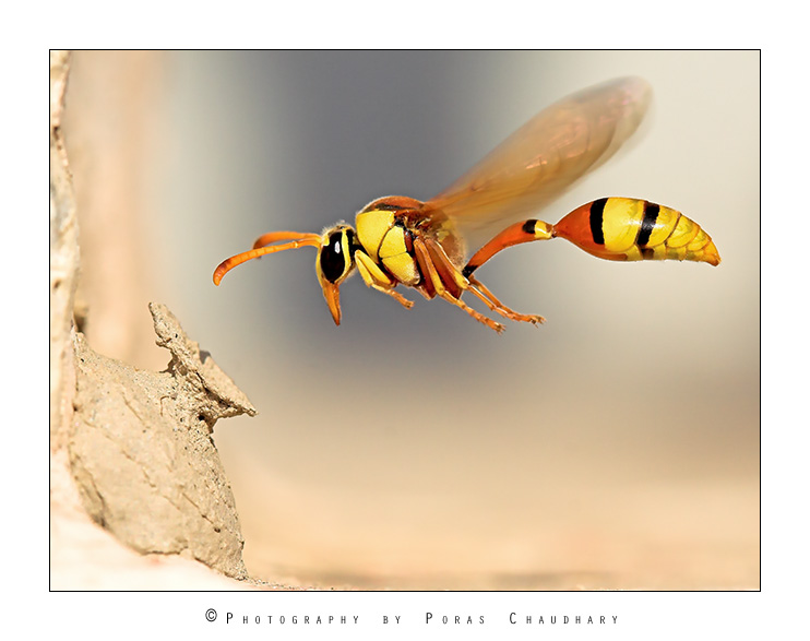 Yellow Potter Wasp by poraschaudhary