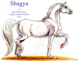 Shagya by lantairvlea