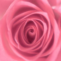 Pink rose by Akxiv