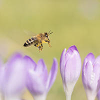 Flying Bee Macro by Akxiv