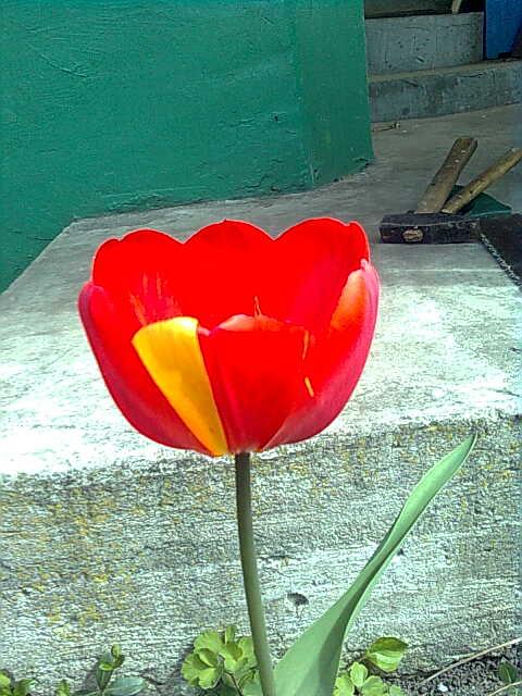 tulip by vampirstic-princess