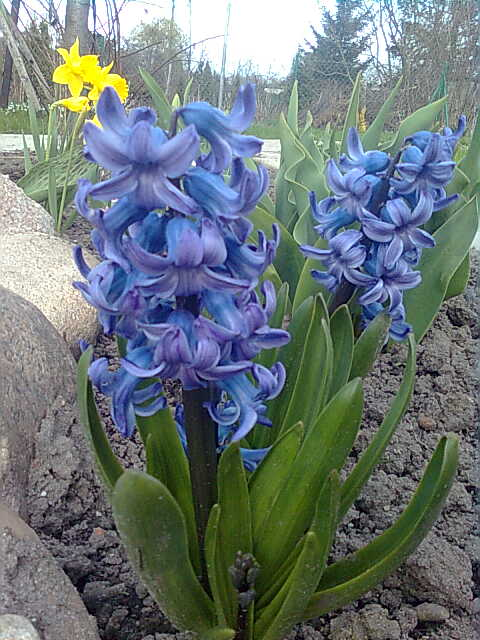 violet hiacynth by vampirstic-princess