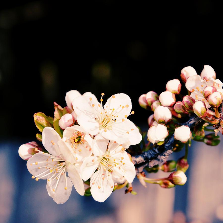 Sakura by autism-fre5h