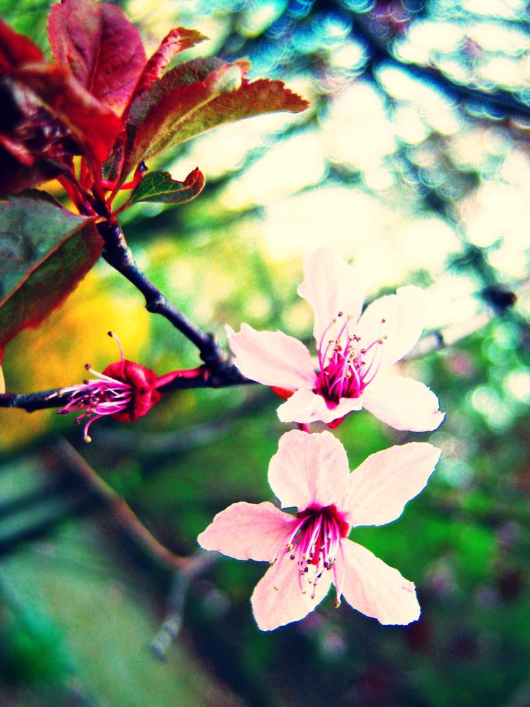 Sakura by Anacardia