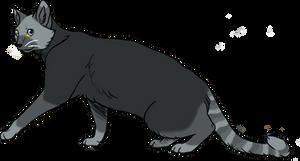 Grey siamese cat