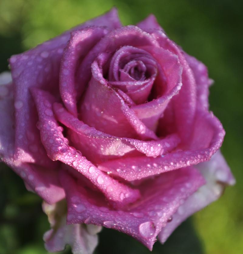 morning_rose_by_julians_derbrennende-d5p