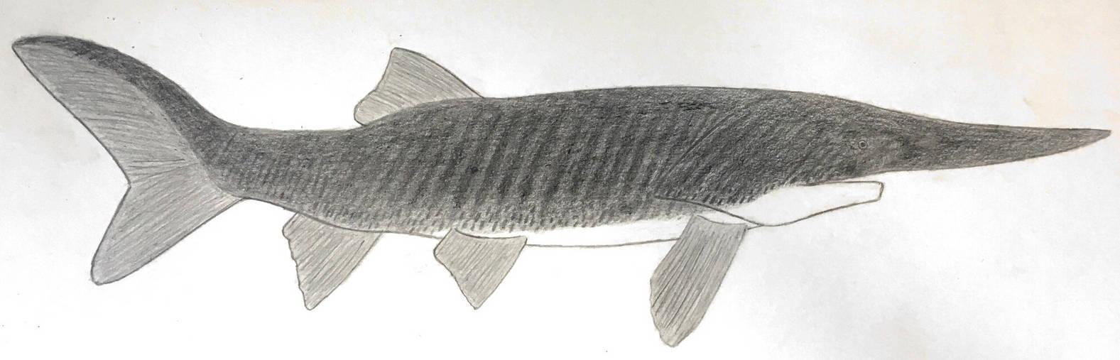 Paleopsephurus by Megalotitan