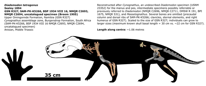 Diademodon schematic