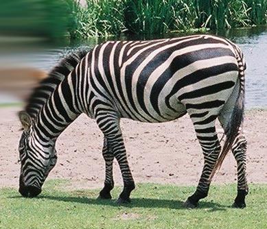 Zebra by SuzzieQue